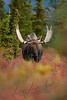 Mammals, bull, moose, wildlife,