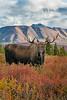 Mammals, Alaska Yukon moose, bull, wildlife