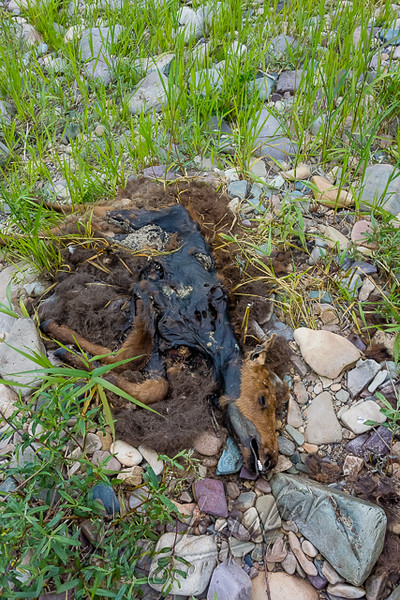 Mammals, moose, dead calf, wildlife