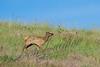 Mammals, big game, Rocky Mountain elk, wildlife