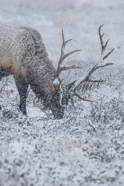 Rocky Mountain Elk, mammals, elk, wildlife