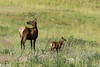 Mammals, big game, Rocky Mountain elk, wildlife
