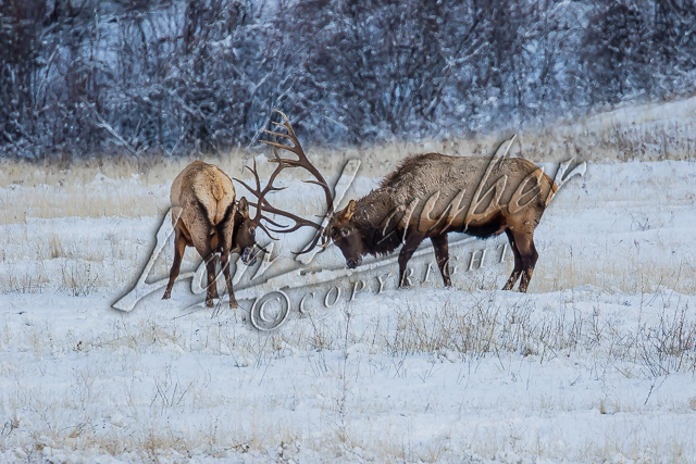 Rocky Mountain Elk, mammals, elk, wildlife