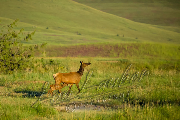 Mammals, big game, elk, cow and calf  wildlife