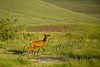 Mammals, big game, elk, cow and calf  wildlife