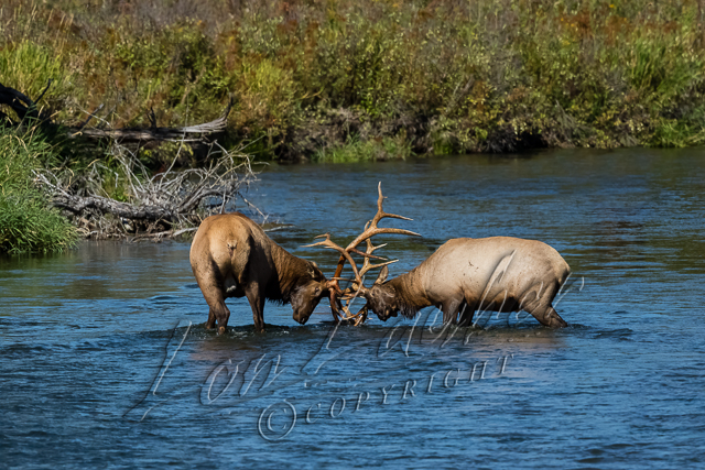 Mammals, Rocky Mountain elk, bulls, fighting