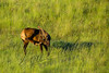 Mammals, Rocky Mountain elk, wildlife