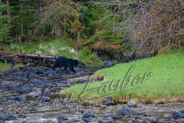 Black bear, Ursus americanus americanus, mature boar, walking along an inlet stream, near the ocean,  AK.