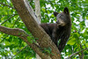 Mammals, black bears, wildlife