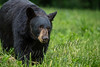 Mammals, black bear, mature sow, wildlife