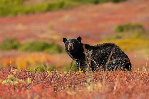 Black bear, Ursus americanus americanus, mature boar, male, head up, alert, looking for danger, while feeding on blueberries in the tundra, autumn, fall colors