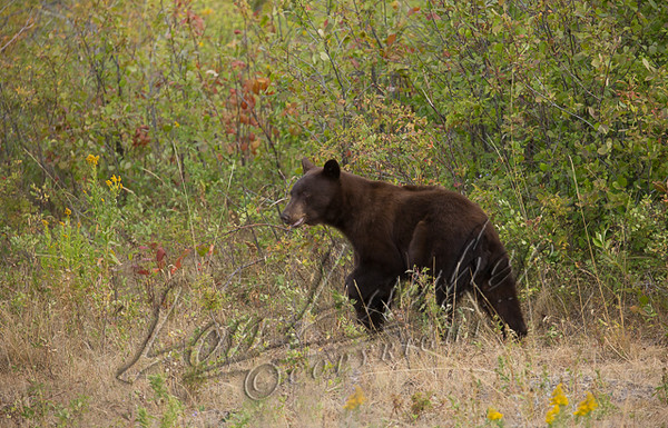 Mammals, black bear, chocolate colored black bear, wildlife