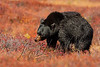 Black bear, Ursus americanus americanus, mature boar, male,