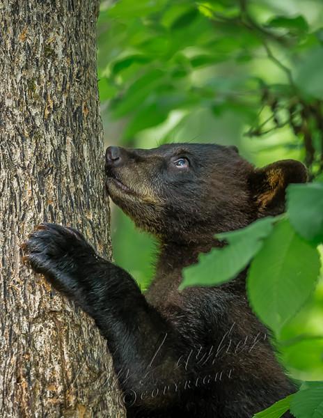 Mammals, black bears, wildlife