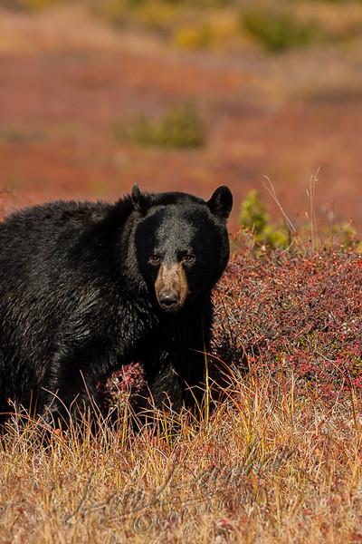 Black bear, Ursus americanus americanus, mature boar, male, eating, feeding on blueberries in the autumn, fall colors, tundra, AK
