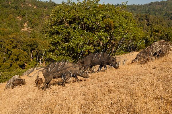 wild hogs, mammals, wild pigs