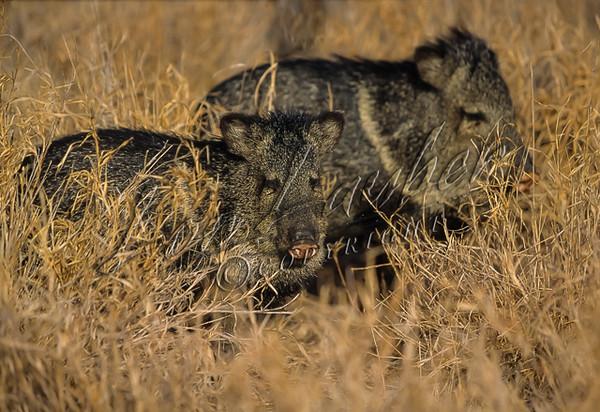 Javelina, collared peccary, mammals