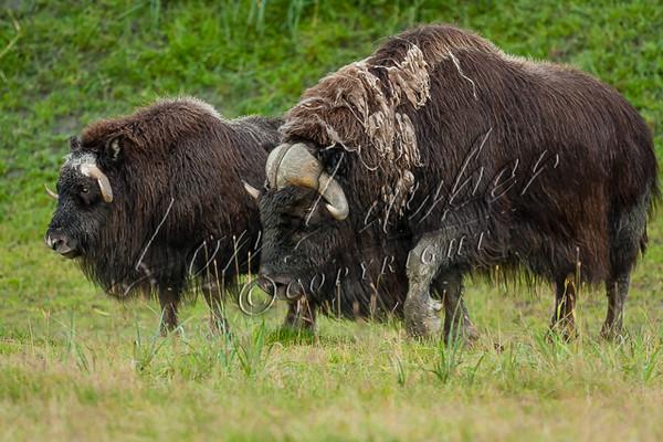 Mammals, muskox, musk oxen