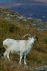 Mammals, ungulates, Dall sheep, big game animals