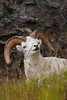 Mammals, ungulates, Dall sheep, big game animals