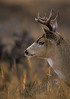 Mammals, deer, Sitka blacktailed deer, wildlife