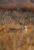 Mammals, deer, Sitka blacktailed deer, wildlife