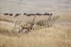 Pronghorn antelope, mammals, ungulates, big game, pronghorn, wildlife