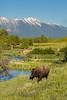 Mammals, bison, wildlife
