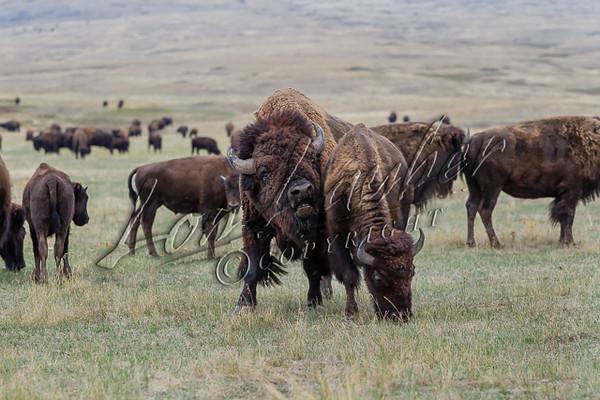 Bison, mammals, big game, ungulates, wildlife