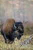 Bison, big game, ungulates, wildlife