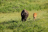 Mammals, bison, wildlife