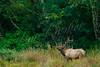 Mammals, elk, Roosevelt elk, big game, ungulates, wildlife