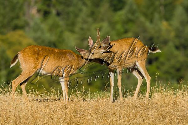 Columbian black-tailed deer, Columbia blacktail deer