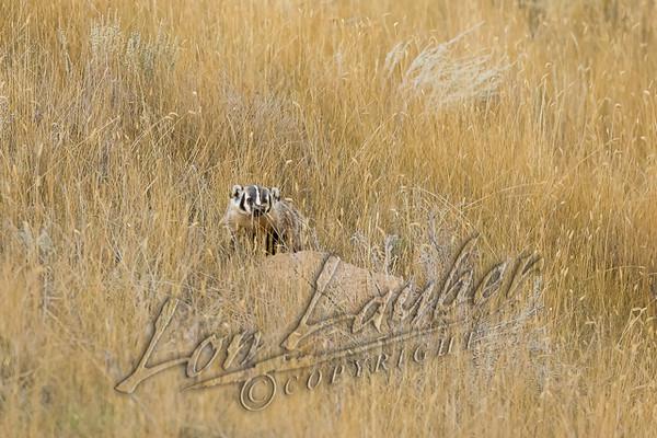 Mammals, badger, wildlife