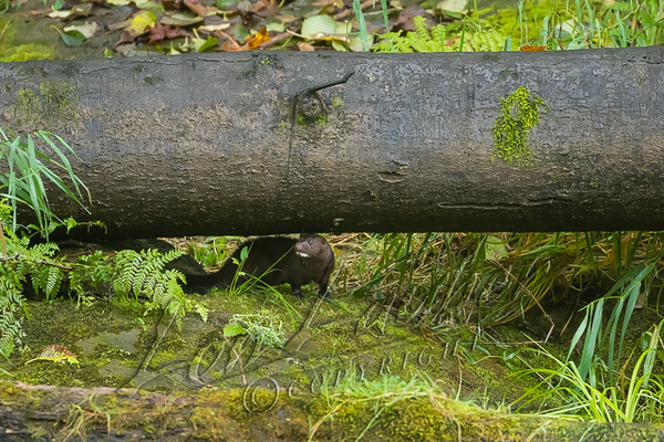 Mammals, mink, wildlife