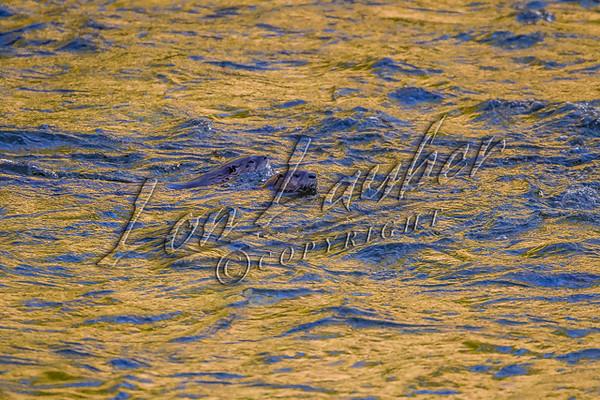 Mammals, river otters