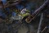 Amphibians, frogs, bull frog, wildlife