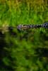 Reptiles, alligator, wildlife