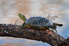 Reptiles, turtles, red eared slider