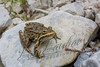 Wildlife, amphibians, frogs, wood frog