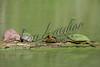 Turtles, reptiles, animals, wildlife