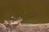 Amphibians, plains leopard frog, wildlife