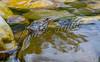 Amphibians, wood frog, wildlife