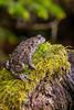 Amphibians, western toad, wildlife