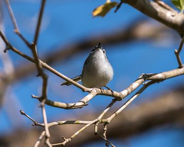 Blue-gray Gnatcatcher Apr 2018-1635