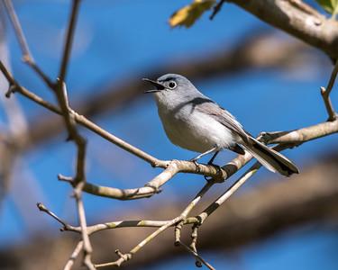 Blue-gray Gnatcatcher Apr 2018-1633