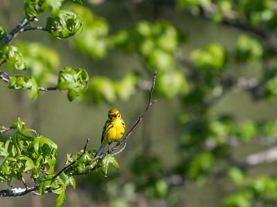 Virginia Birds May 2018-1593