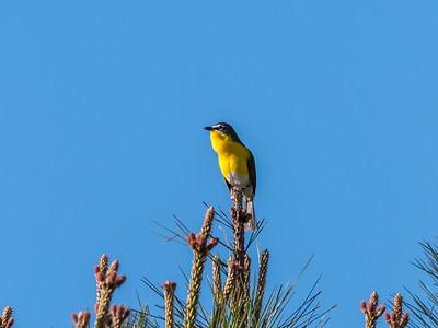 Virginia Birds May 2018-1535