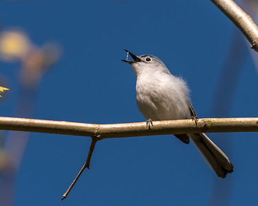 Blue-gray Gnatcatcher Apr 2018-1629