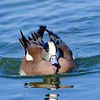 Male American Wigeon